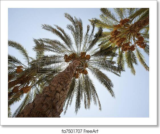 Free Art Print Of Date Palm Trees Canopy Of Date Palm Trees Phoenix