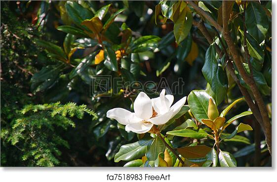 Free Art Print Of Magnolia Tree With White Blossom A White Magnolia