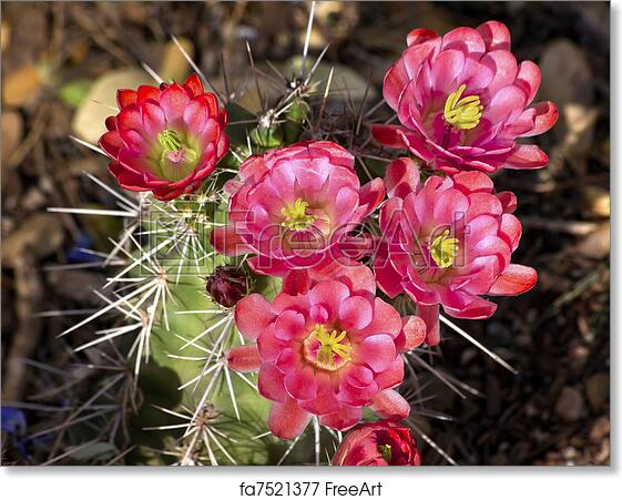 Free art print of pink red cactus flowers sonoran desert phoenix free art print of pink red cactus flowers sonoran desert phoenix arizona mightylinksfo
