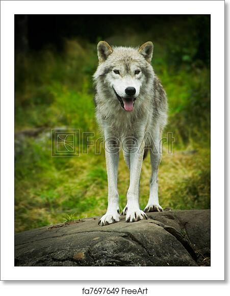 free art print of wild eastern gray timber wolf in natural habitat