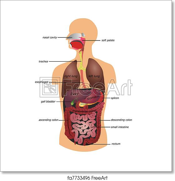 Free Art Print Of Gastrointestinal Tract Gastrointestinal Tract