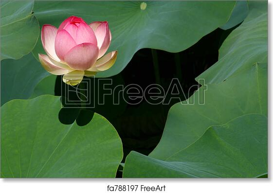 free art print of birth of a lotus blossom a richly pink lotus