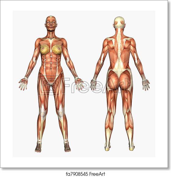 Free Art Print Of Female Muscles 3d Render Depicting Human Anatomy