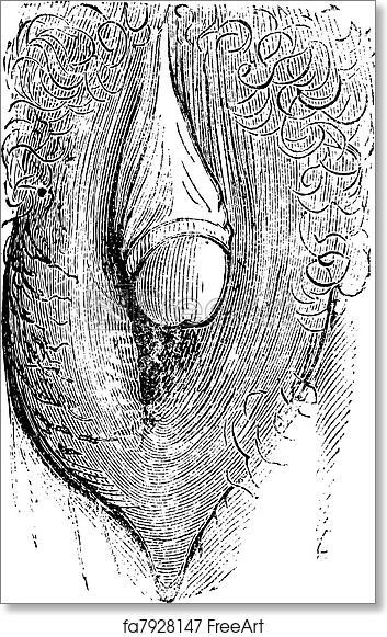 The clitoris as art