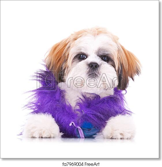 Free Art Print Of Adorable Dressed Shih Tzu Puppy Adorable Shih Tzu