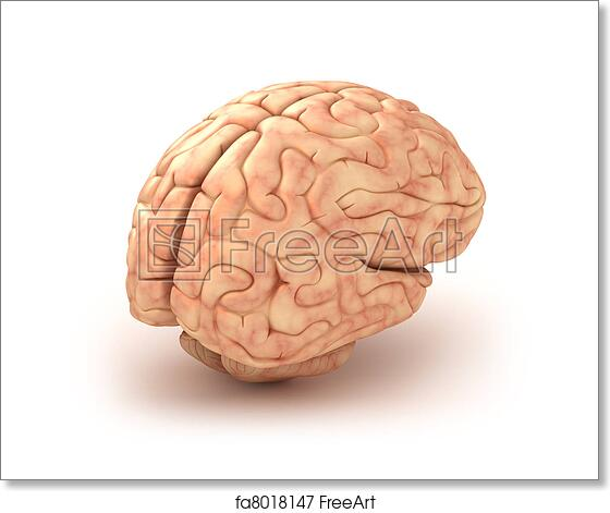 Free art print of Human brain 3D model, isolated