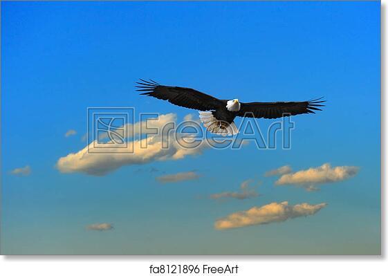 Free Art Print Of Alaskan Bald Eagle Flying Bald Eagle Soaring Over