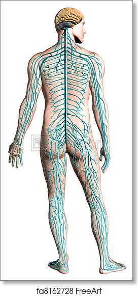 Free Art Print Of Human Nervous System Diagram Human Nervous System