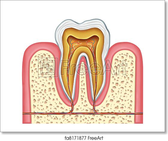 Free art print of Anatomy of a healthy human tooth. Anatomy of a ...