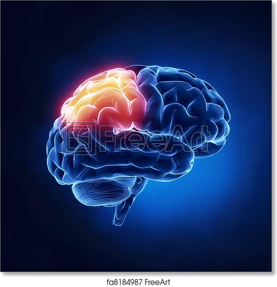 Free art print of Parietal lobe - Human brain in x-ray view ...