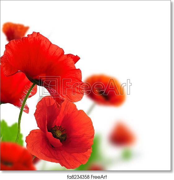 Free art print of red poppies over a white background border floral free art print of red poppies over a white background border floral design for an angle of page closeup of the flowers with focus and blur effect mightylinksfo Image collections