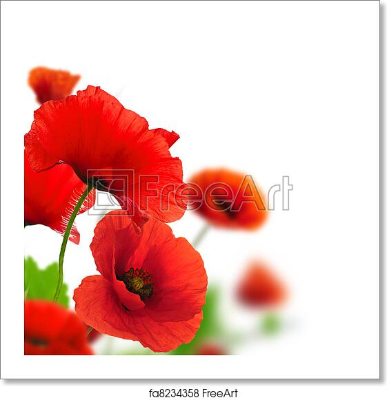 Free Art Print Of Red Poppies Over A White Background Border Floral Design For An Angle Of Page Closeup Of The Flowers With Focus And Blur Effect Freeart Fa8234358