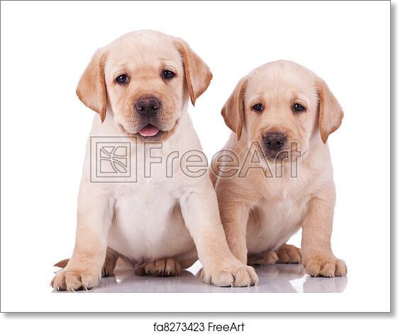 Free Art Print Of Little Labrador Retriever Puppies Panting Two