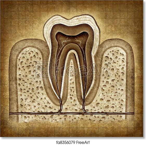 Free art print of Tooth Anatomy In Grunge Texture. Tooth inner ...