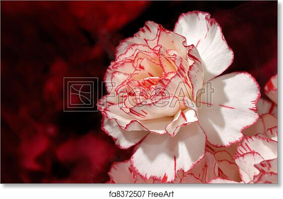 Free Art Print Of Beautiful White With Red Carnation Flower Closeup