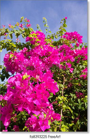 Free art print of bougainvillea flower bush bush of blooming purple free art print of bougainvillea flower bush mightylinksfo