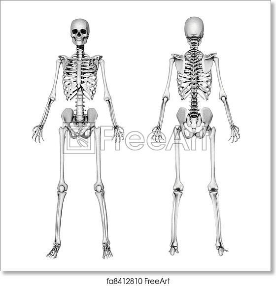 Free art print of Skeleton Front & Back - Pencil Drawing. A female ...