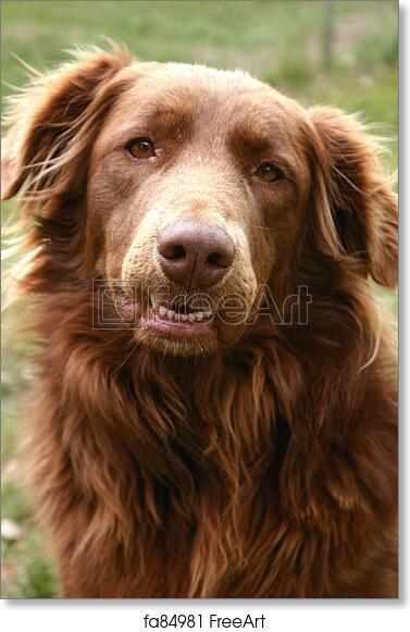 Free Art Print Of Molly Portrait Of Golden Retriever Chocolate Lab