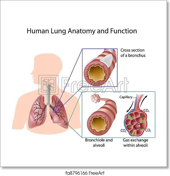 Free Art Print Of Human Lung Anatomy Function Eps8 Details Of