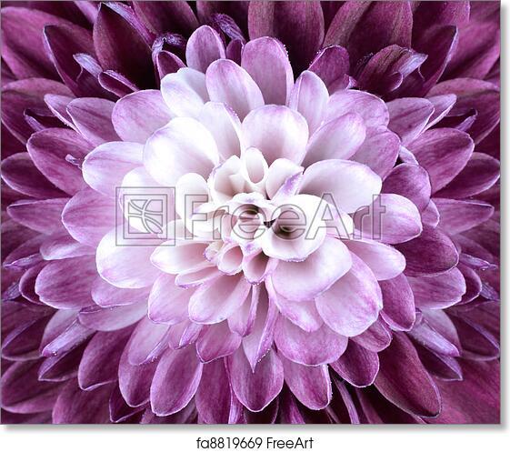 Free art print of macro close up on purple white chrysanthemum free art print of macro close up on purple white chrysanthemum flower mightylinksfo