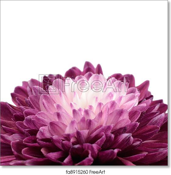 Free art print of Purple Chrysanthemum Flower with White Center ...