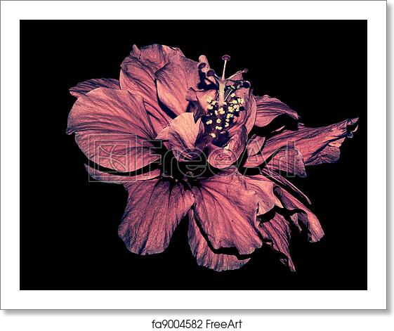 Free Art Print Of Hibiscus Flower Isolated On Black A Red Hibiscus