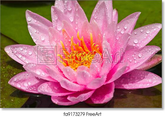 Free Art Print Of Lotus Flower Lotus Flower Of Thailand Freeart
