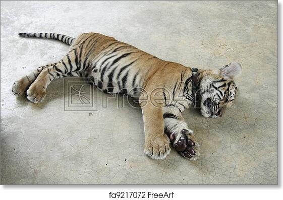 Free art print of tiger cub cute tiger cub sleeping in a zoo free art print of tiger cub altavistaventures Gallery