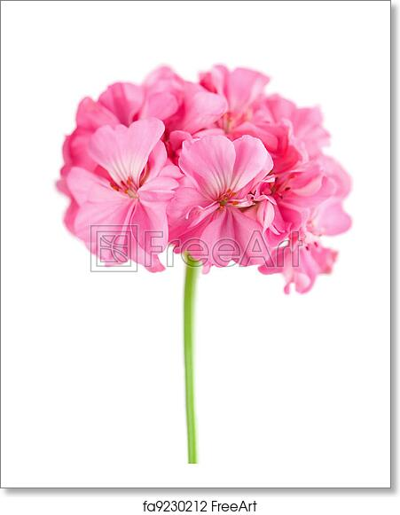Free Art Print Of Pink Geranium Flower Isolated Freeart Fa9230212