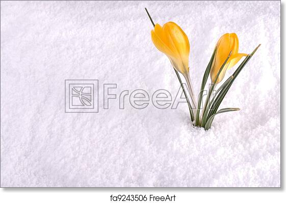 Free art print of crocus in snow yellow a yellow crocus flower in free art print of crocus in snow yellow mightylinksfo