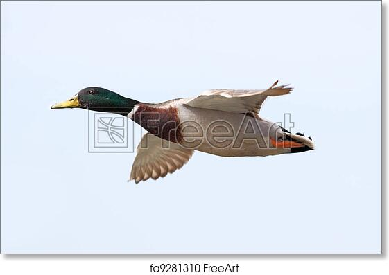 Free Art Print Of Mallard Duck Flying Mallard Duck Flying