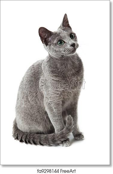 Free Art Print Of Russian Blue Cat On White Russian Blue Cat Freeart Fa9298144