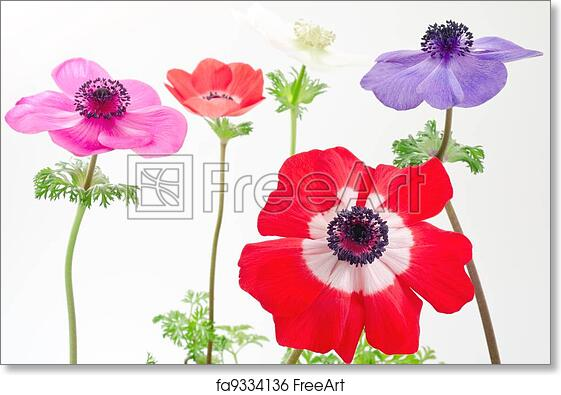Free art print of Anemone flowers lined. Red anemone flower in front of four anemone flower lined | FreeArt | fa9334136