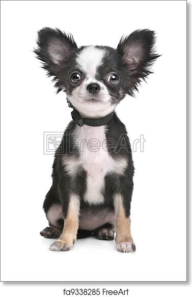 Free Art Print Of Long Haired Chihuahua Puppy
