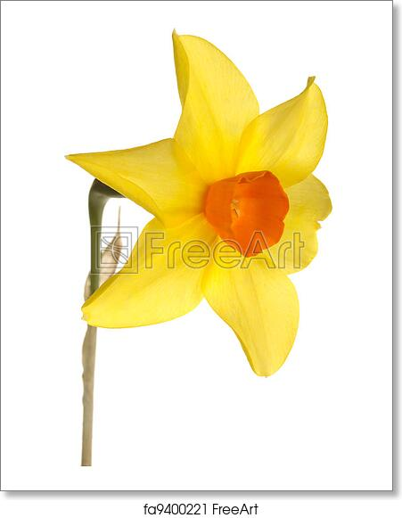 Free Art Print Of Orange And Yellow Daffodil Flower Against A White