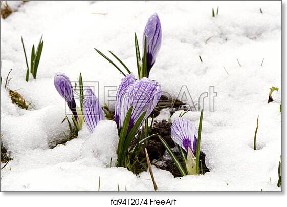 Free Art Print Of Crocus Saffron Violet Blooms Spring Flowers Snow