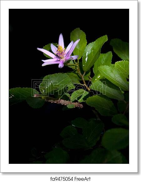 Lavender Star Flower(Grewia occidentalis, Family Malvaceae) blooming like a star