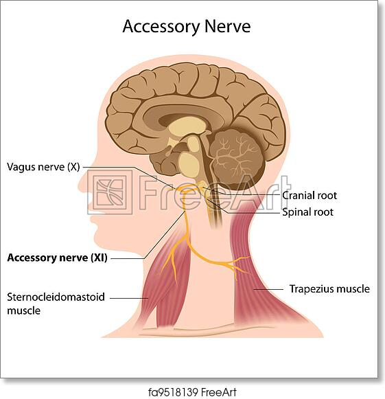 Free art print of Accessory nerve, eps8. The 11th cranial nerve ...