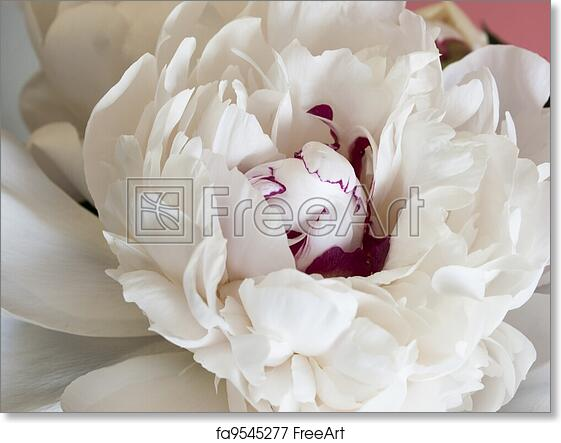 Free art print of white peonies peony or paeony have compound free art print of white peonies mightylinksfo