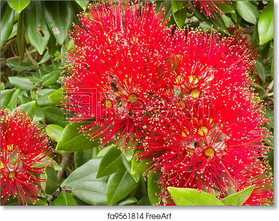 Free Art Print Of Closeup Blossoms Of Nz Christmas Tree Pohutukawa
