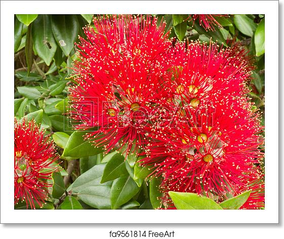 New Zealand Christmas Tree.Free Art Print Of Closeup Blossoms Of Nz Christmas Tree Pohutukawa