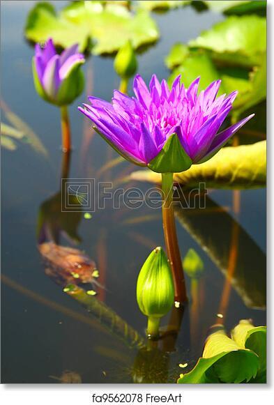 Free art print of blossom lotus flowers in pond freeart fa9562078 free art print of blossom lotus flowers in pond mightylinksfo