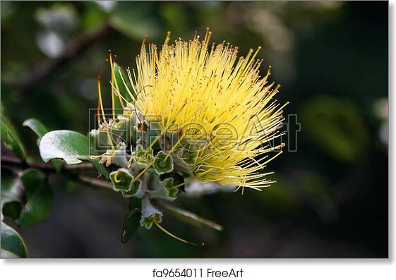 Free art print of Ohia Lehua Flower. Beautiful Hawaiian Yellow Ohia Lehua Flower in Bloom | FreeArt | fa9654011