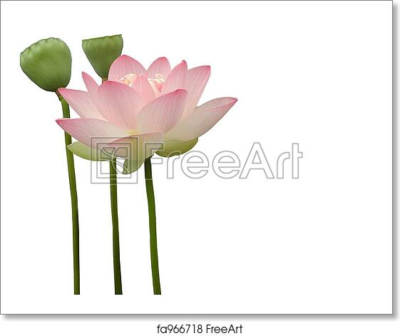Free Art Print Of Lotus Flower Lotus Flower On White Background