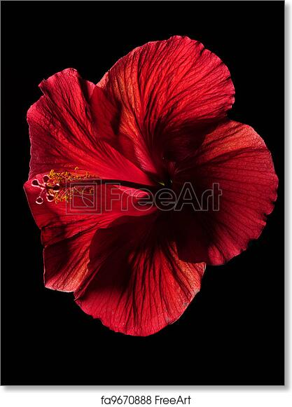 Free Art Print Of Red Hibiscus Flower On Black Red Hibiscus Flower