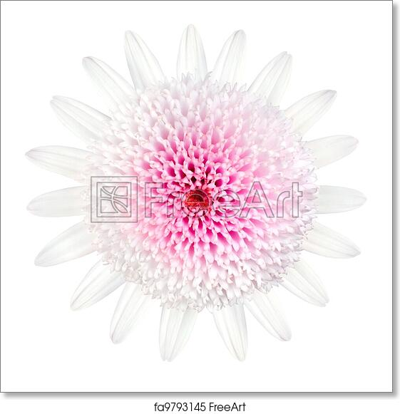 Free art print of Pink Daisy Type Flower Isolated on White. Pink ...