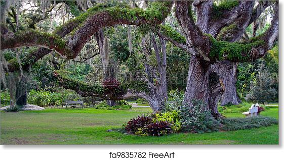 Free art print of Confederate Oak Tree. Confederate oak tree in ...