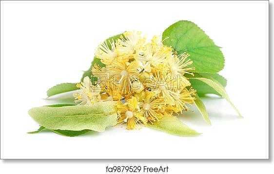 Free art print of Linden flowers